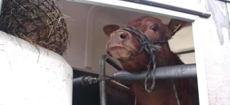 Когда люди набросили на неё веревку, корова заплакала от страха. Пока не увидела, куда её привезли животные, истории, корова, мясо, скотобойня