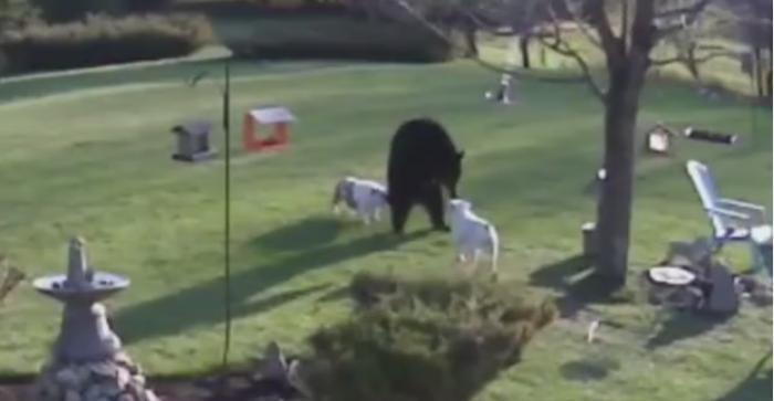Отважные собаки встретились с медведем.