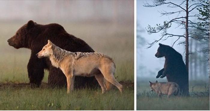 Пример невероятной дружбы медведя и волка. У этих двоих есть чему поучиться людям!