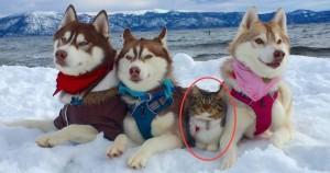Эти хаски спасли котенка, и теперь он считает себя большой и смелой собакой