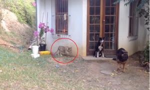 Львёнок неожиданно подкрадывается к собаке и пугает её