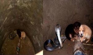 Дикая королевская кобра позаботилась о двух щенках, упавших в колодец