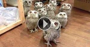 Здесь совы такие, какими вы их еще не видели. Приготовьтесь смеяться в голос!
