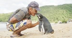 Пингвин проплывает 8000 км, чтобы встретиться со своим спасителем